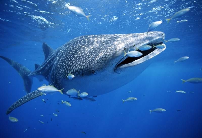Haz buceo con el tiburón ballena
