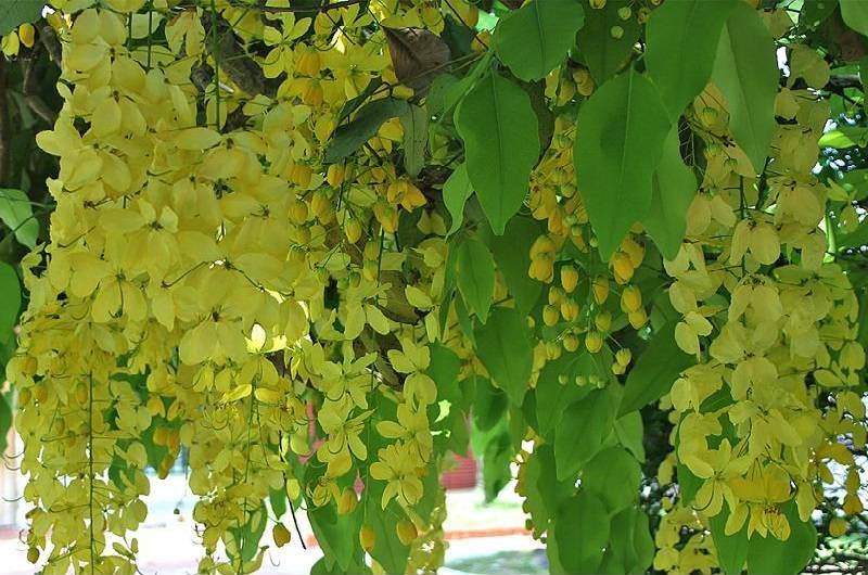 La flor tailandesa
