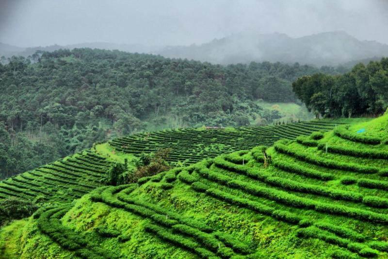Plantaciones de Te en Chiang Rai