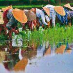 Campos de arroz Vietnam