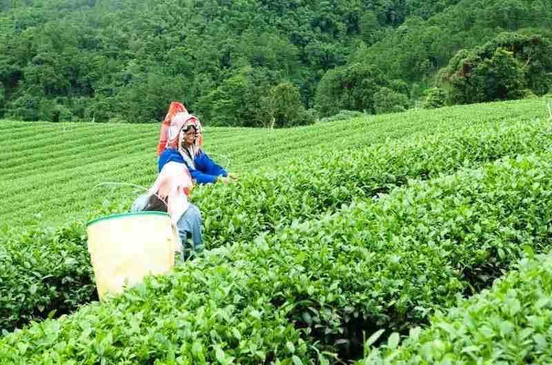 Chiang Rai Plantaciones de Te Doi Mae Salong