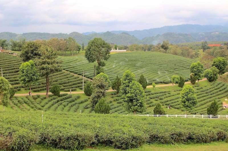 La plantación de té de Chui Fong
