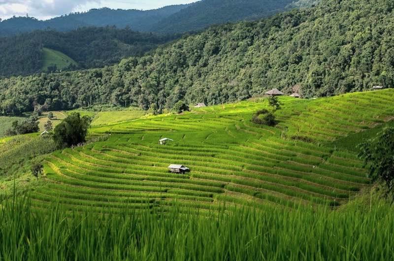 Campos de arroz en Tailandia