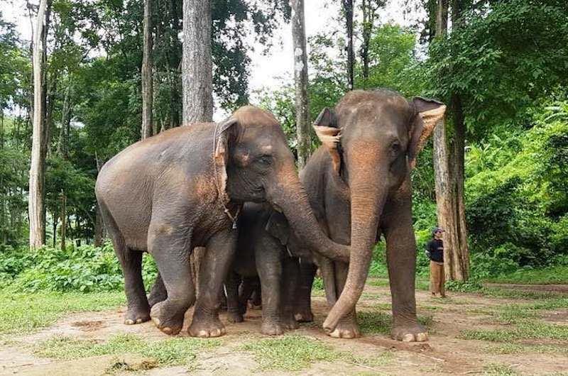 Chiang Mai Campos de Elefantes